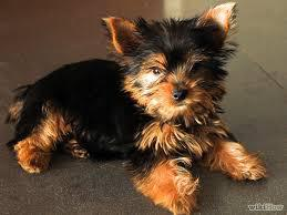 Yorkie Puppies Males  Females