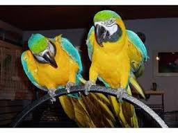 350  Tamed and well trained Macaws
