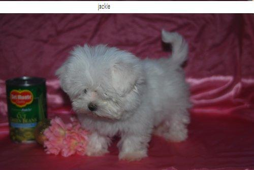 AKC Maltese male and female puppies available 772 242-4758