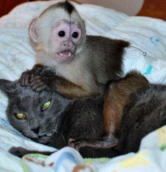 Beautiful Capuchino Monkeys Urgently Home For Adoption 719 631-8515