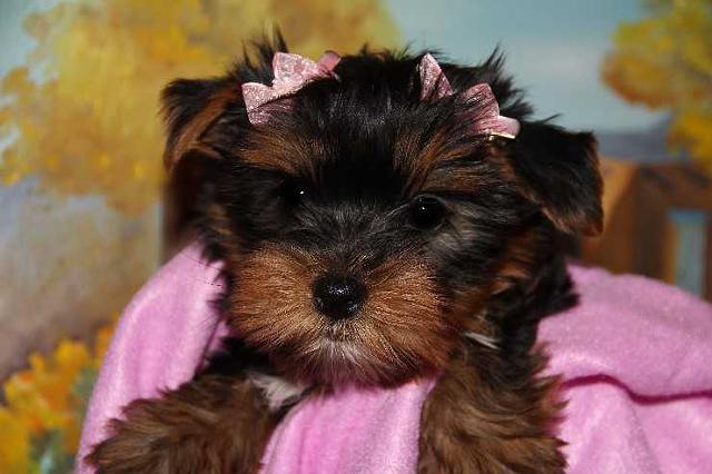 Tea Cup Yorkie Puppies EX-MAS  612 213-1764