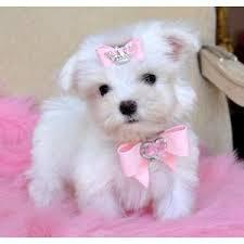 Three adorable Maltese puppies puppies  Text 779 206-7226