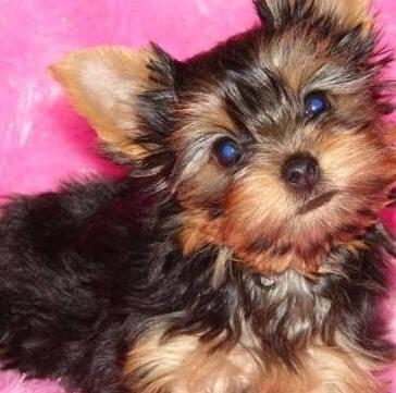 cute and adorable yorkie for adoption