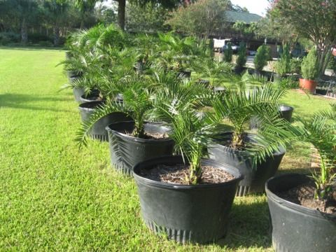 Palm Trees and plants (Houston surrounding areas)