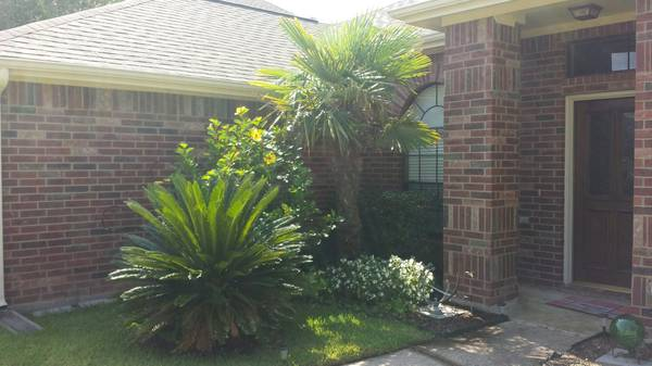 Free palm trees (Katy)