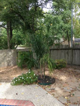 2 Palm Trees Need to Go (Kingwood)