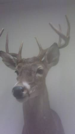 10 point deer shoulder taxidermy mount - $85 (clearlake)