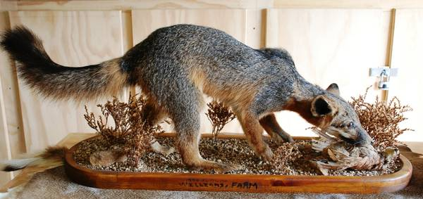 Full Body Red Fox Taxidermy Mount with Quail - $150 (Alvin)