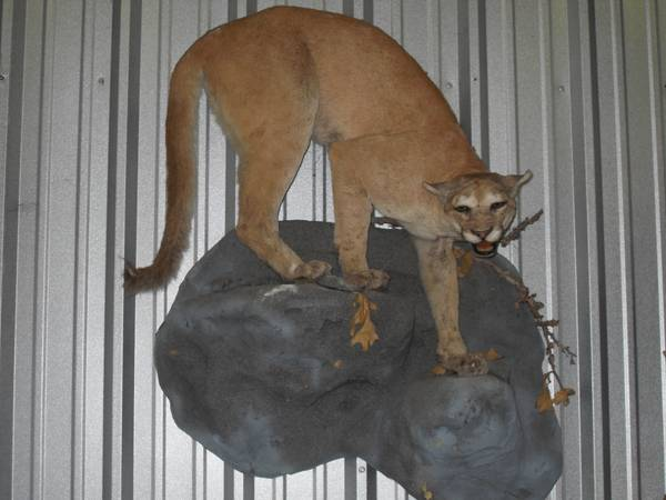 MOUNTAIN LION Taxidermy MOUNT Huge Hunt Horn Deer Decor