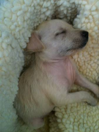 SUPER ADORABLE CHIHUAHUA- SCHNAUZER PUPPY FOR SALE - $75 (HEIGHTS)