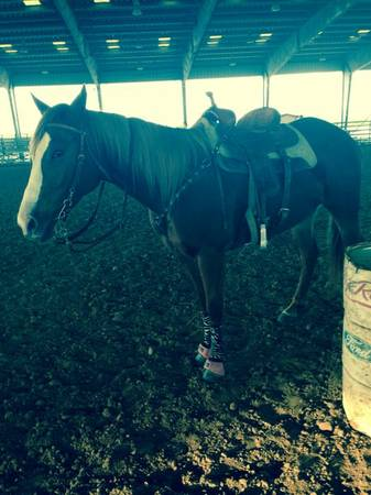 First Down Dash, Beduino, go man go horse for sale - $1500 (Alvin)