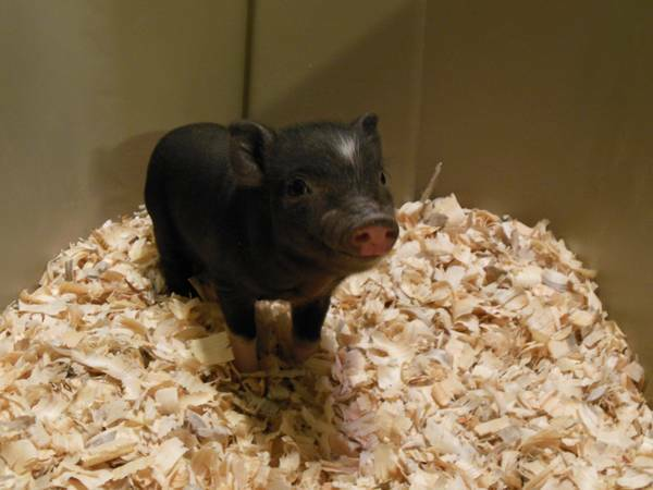 POT BELLY PIGS-MICRO MINIS PIGS --SOOO CUTE - $25 (6911 OAK LANE RICHMOND, TX 77406)