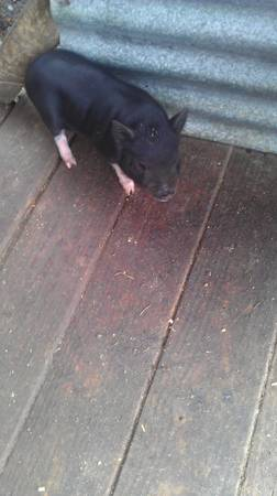 BABY POT BELLY PIGS - $100