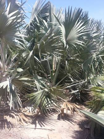 Bismarkii - large palm trees - $250 (1413 w 12 st houston )
