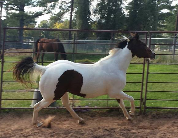 Pretty, Flashy and Athletic Paint Mare - Pleasure or Show - $1200 (Montgomery)