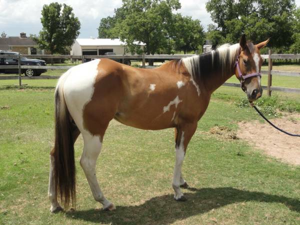 Paint Mare - 3 years old - $1500 (NW Houston)