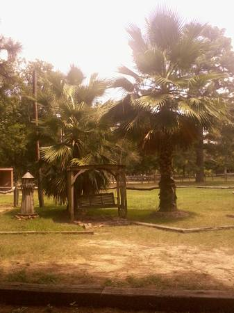 huge palm trees PRICE REDUCED - $300 (Willis)