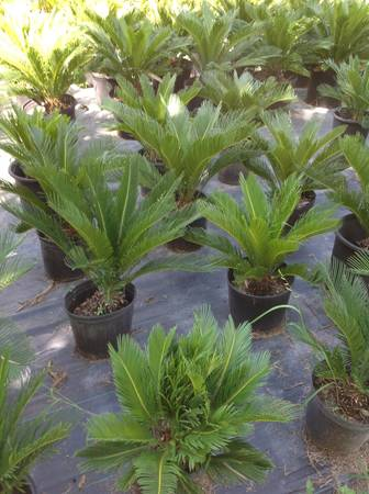 Palm trees for sale - $15 (Arcola, Pearland, Manvel, Ft Bend County)