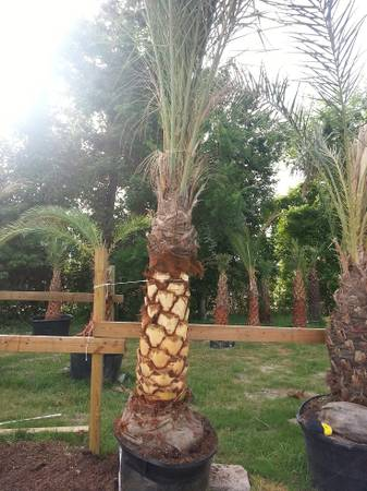 Palm Trees Wholesale Pricing - x0024299 (Cypress TX )