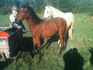 paso fino stud, colt and filly (kingwood)
