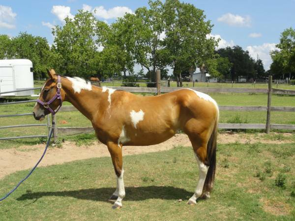Paint Mare - 3 year old - $1250 (Cypress- NW)