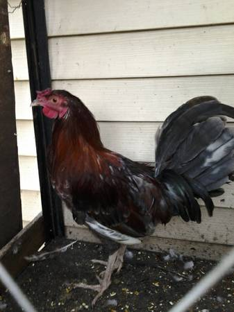 gallos game rooster and Hens - $75 (SW houston)