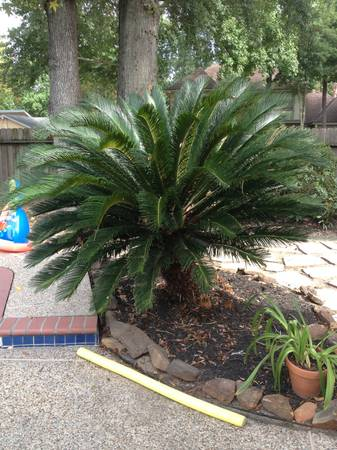 3 Palm Trees Need to Go - $75 (Kingwood)