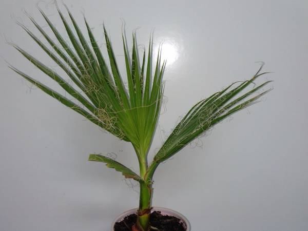 Mexican Fan Palm Trees - $9 (Veterans MemorialBammel N. Hou)