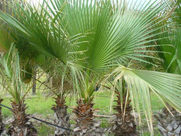 Mexican Fan Palm Trees - $100 (Tomball, TX)