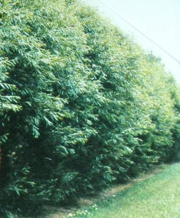 Austree Hybrid Willow Trees. 12 growth first year Privacy fence - $3 (Hollandale, MN)