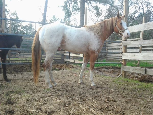 Horses for sale (N. Houston Tx)