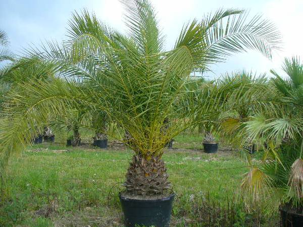 Canary Island Date Palm Trees - $250500 (Tomball, TX)