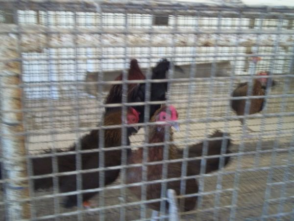 Chickens, Bantams and Broiler Chicks - $5 (Montgomery)