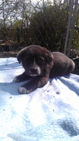puppies at pearland garage sale - $75