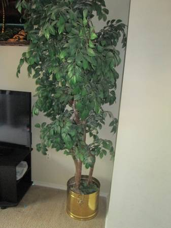 6ft 4 Trunk Ficus tree with brass pot - $50 (CypressTomballHouston)