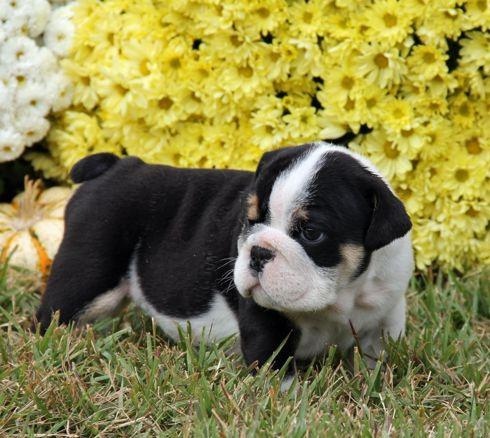$800, male and female English  bulldog puppies here