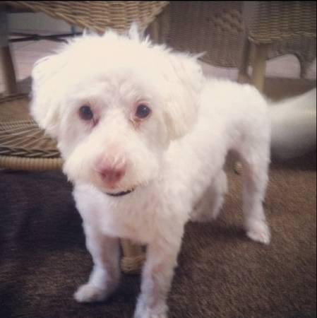 Lost white maltipoo with pink nose (Tomball)
