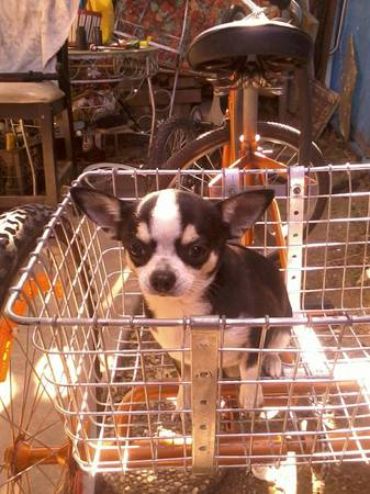 Chihuahua male stud breeder (Eastend)