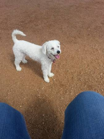 looking for a male maltipoo