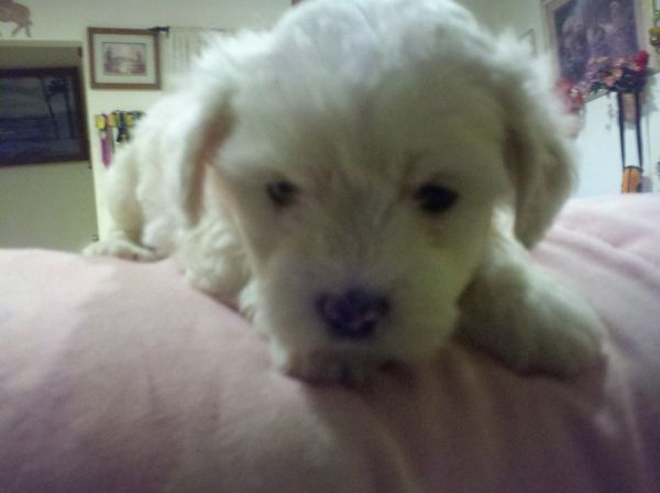 Maltipoo Puppies - $320 (PasadenaHouston)
