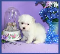 Apple-Head Maltese Puppies 779 206-7226