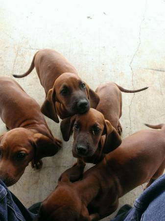 for sale full blooded red bone puppies - $400 (Rogers Tx)