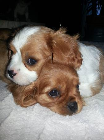 Cavalier king Charles puppies for sale or trade for conure or parrots (Gatesville tx)