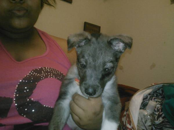 full blooded blue heeler - $150 (Harker heights Texas)