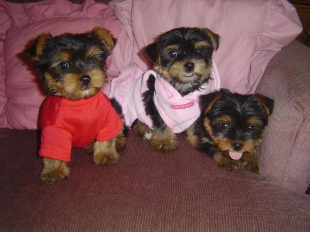 280   designed Party Yorkshire terrier- yorkie puppies for re-homing Inbox me at  804-597-0413