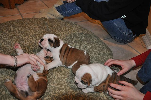 Family English Bulldog Puppies need home  Call or text 203 541 0451