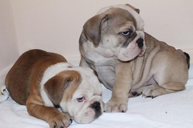 Quality English Bulldog Puppies txt or call 7242418520