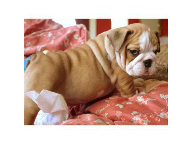 Top Class English Bulldog puppies available  Call or text now 646 439-6927