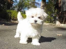 gtThe Maltese is spirited  lively and playful  646 601-5642