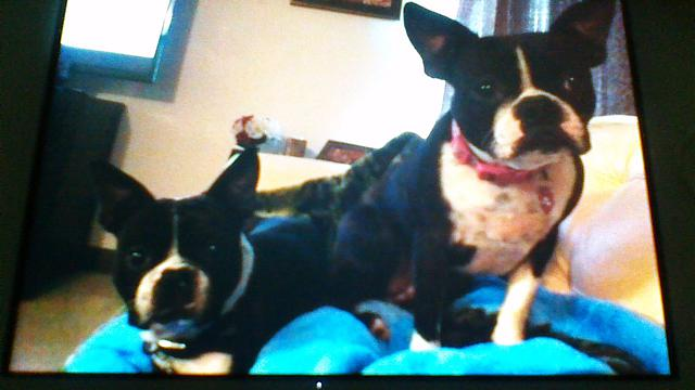 2 Lost Boston Terriers reward